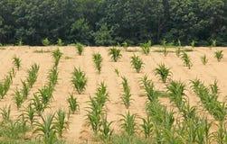 遭受干旱的玉米田 库存图片