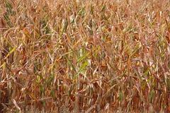 遭受干旱的玉米 库存图片