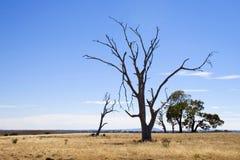 遭受干旱的结构树 免版税库存图片