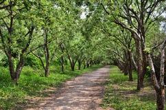 遮荫道路在老果树下 免版税库存图片