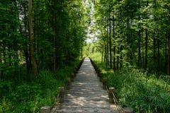 遮荫planked道路在晴朗的夏天森林  免版税库存照片