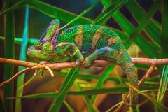 遮遮掩掩变色蜥蜴Chamaeleo calyptratus 库存照片