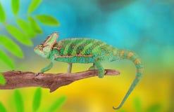 遮遮掩掩变色蜥蜴chamaeleo calyptratus特写镜头 免版税图库摄影