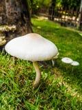 遮阳伞白色蘑菇 免版税库存照片