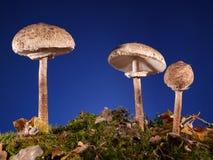 遮阳伞真菌 库存照片