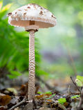 遮阳伞真菌 免版税图库摄影