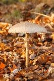遮阳伞蘑菇在森林里 库存图片