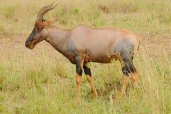 遮阳帽和非洲羚羊 图库摄影