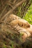 避开为照片的白色孟加拉老虎,通过盖他的面孔用手 免版税库存图片