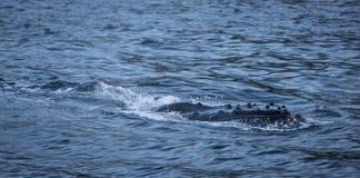 避开水的表面的驼背鲸 免版税库存图片