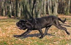 那不勒斯的大型猛犬 免版税图库摄影