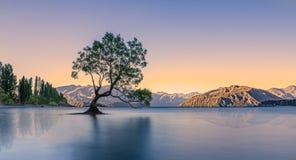 那棵Wanaka树 库存照片
