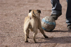 那的狗踢橄榄球的爱 免版税库存图片