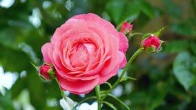 那里一朵红色玫瑰是一朵红色玫瑰和绿色背景 免版税图库摄影