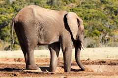 那里水的非洲人布什大象 免版税库存照片