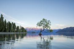 那Wanaka树和瓦纳卡湖海岸线, Wanaka,新西兰 免版税图库摄影
