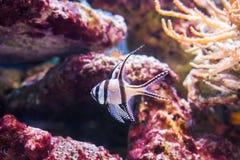 邦盖群岛主教鱼,在印度尼西亚的邦盖群岛海岛被危及和仅生活的一只普遍的水族馆宠物 免版税库存图片