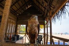 邪恶的不能飞行的老鹰作为娱乐的一只宠物 免版税库存图片