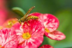 邪恶的黄蜂坐一朵桃红色花 库存照片