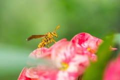 邪恶的黄蜂坐一朵桃红色花 免版税库存照片