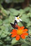 邮差蝴蝶,共同的邮差 免版税图库摄影