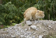邻里猫 粗砺的恼怒的姜汤姆猫外面坐镇庭院只有单面倾斜的屋顶 户外家猫 免版税库存照片