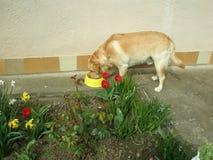 郁金香、黄水仙和布鲁诺拉布拉多 免版税库存图片