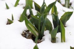 郁金香一些片小组叶子在雪的 库存照片