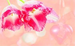 郁金香两朵花在桃红色背景的 库存照片