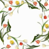 郁金香五颜六色的安排框架在中心开花与空白的地方您的文本白色背景的 平面 免版税库存图片