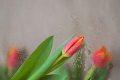 郁金香典雅的花在玻璃后的与雨滴下 在现代中间影调的抽象背景 精美色彩为 库存图片