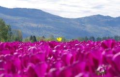 郁金香刺激在山附近的夏天 图库摄影