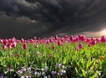 在风暴之前的郁金香 免版税图库摄影