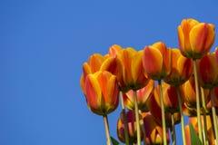 郁金香和天空 库存照片