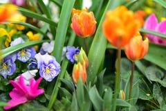 郁金香和开花在奥克兰领域Wintergardens的春天期间的五颜六色的花的各种各样的种类 免版税库存照片