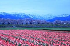 郁金香和樱桃树在破晓 免版税库存照片