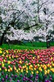 郁金香和樱桃 图库摄影