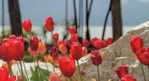 郁金香和石头在湖附近 免版税库存图片