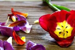 郁金香和郁金香的瓣在木背景 库存图片