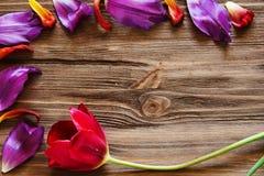 郁金香和郁金香的瓣在木背景 免版税库存照片