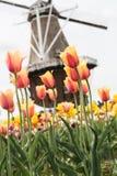 郁金香和风车荷兰密执安的领域 免版税图库摄影