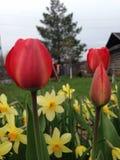 郁金香和水仙在庭院里 库存图片