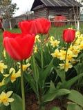 郁金香和水仙在庭院里 免版税库存图片