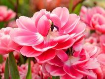 郁金香哥伦布,带红色桃红色渐近的白色 库存图片
