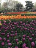 郁金香在北京植物园里 免版税库存图片