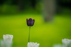 郁金香在夏天庭院里 库存图片