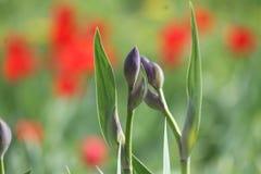 郁金香在庭院里在春天 库存图片