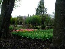 郁金香在庭院里增长 免版税库存图片