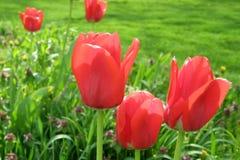 郁金香在庭院里 图库摄影