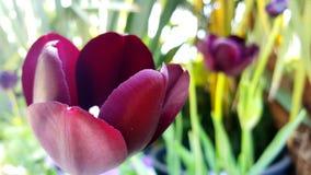郁金香在庭院里 免版税图库摄影